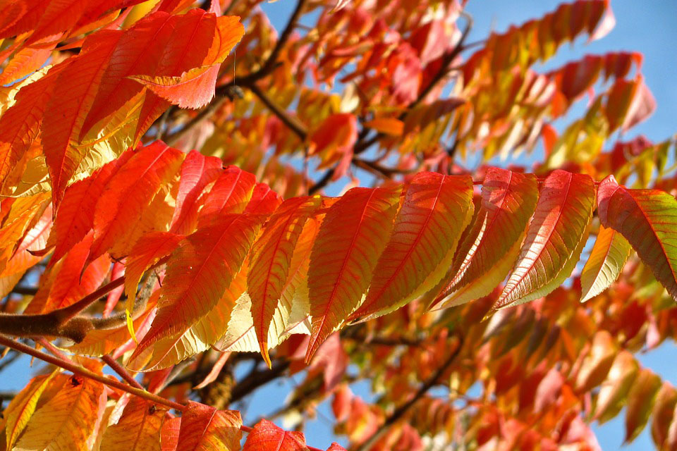 Leaf colours of yellow, orange and red flame through trees in Autumn