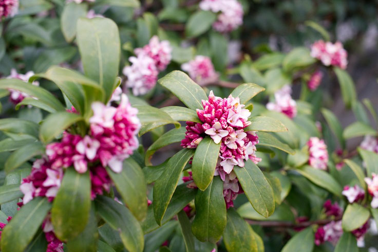 The scent of daphnes sweetens the cold of Winter